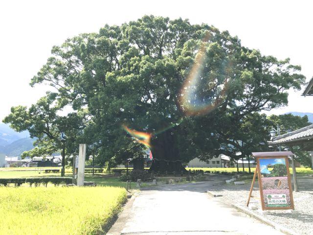 加茂の大クス3